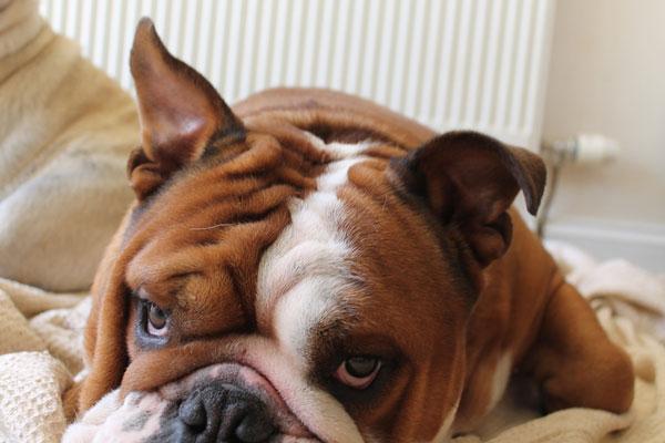 grumpy-bully