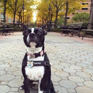 bea-boston-terrier