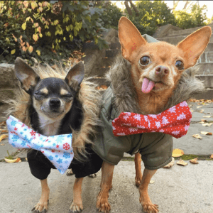 fef531af990 Here are the top ten breeds of tea cup dogs! mervin-chihuahua