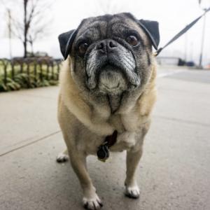 mookie-pug