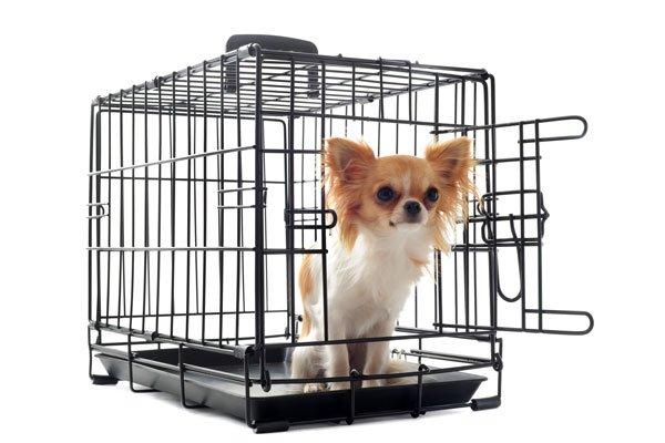 chihuahua-in-crate600