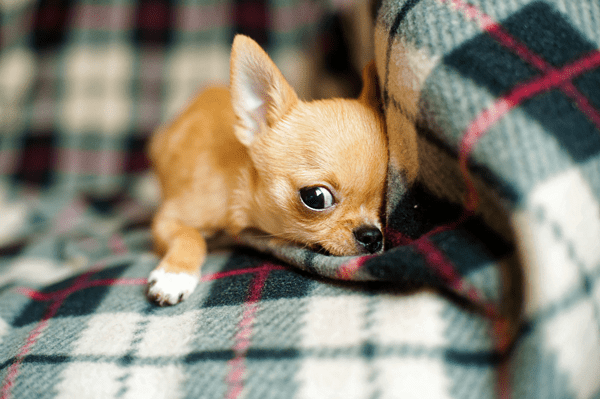 chihuahua-puppy-958203_1920