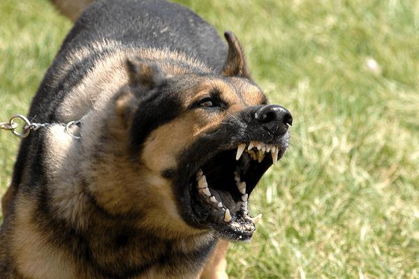 gershep-dog_barking_600