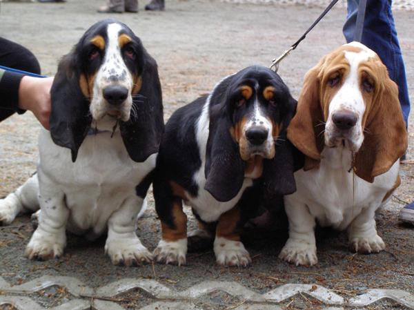 basset-hounds-883517_1280