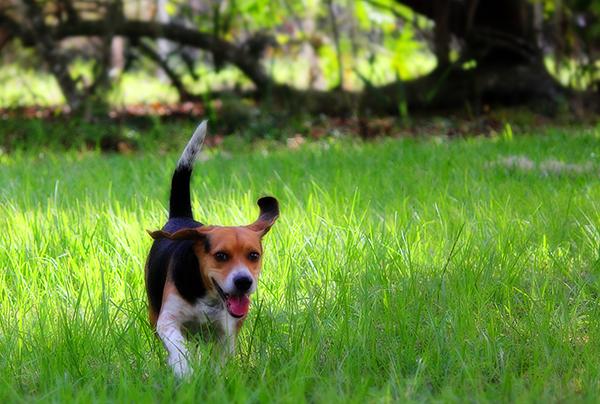 beagle-in-field