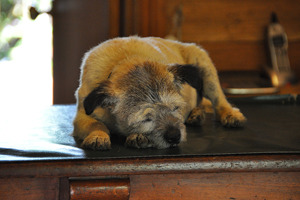 tired-pup